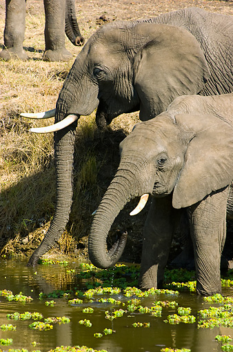 ELE 01 NE0015 01 © Kimball Stock African Elephant Mother And Calf Wading And Drinking In Watering Hole On Savanna Kenya