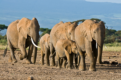 ELE 01 NE0020 01 © Kimball Stock Herd Of African Elephants Walking On Savanna Kenya
