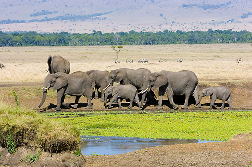 ELE 01 NE0023 01 © Kimball Stock Herd Of African Elephants Walking By Watering Hole On Savanna Kenya