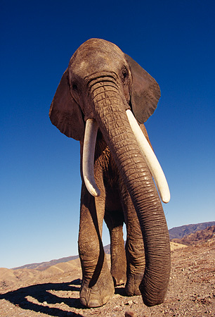 ELE 01 RK0014 05 © Kimball Stock African Elephant Againsts Blue Sky