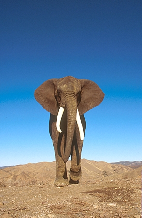ELE 01 RK0024 44 © Kimball Stock African Elephant Walking On Dirt
