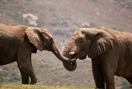 ELE 01 RK0054 01 © Kimball Stock Two Elephants Playing Locking Trunks