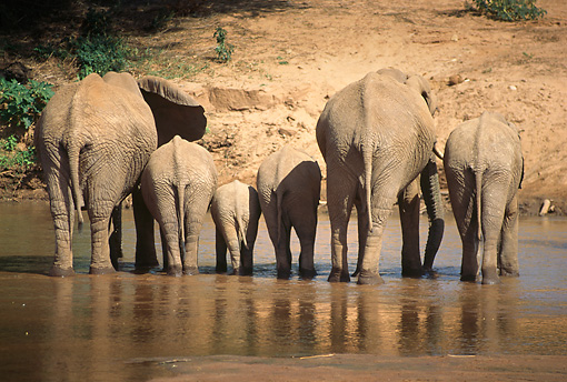 ELE 01 RW0002 01 © Kimball Stock Two Elephant Cows Standing With Four Calves In Shallow Water Kenya