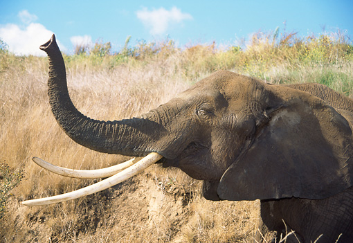 ELE 01 RW0007 01 © Kimball Stock African Elephant With Trunk Raised Head Shot Profile