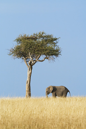 ELE 01 RW0010 01 © Kimball Stock African Elephant Standing On Savanna By Tree Kenya