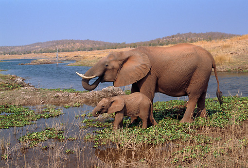 ELE 01 TL0001 01 © Kimball Stock African Elephant Foraging With Calf