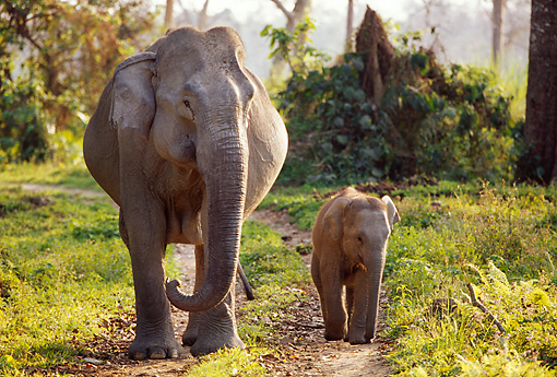 ELE 01 TL0003 01 © Kimball Stock Asian Elephant Cow And Calf Walking On Dirt Path Toward Camera Foliage