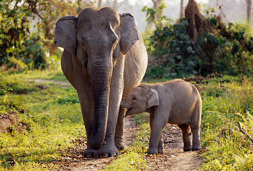 ELE 01 TL0004 01 © Kimball Stock Asian Elephant Cow And Calf Walking On Dirt Path Toward Camera Foliage