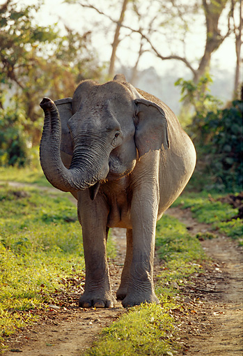 ELE 01 TL0005 01 © Kimball Stock Asian Elephant Cow Standing On Dirt Path Trumpeting Foliage