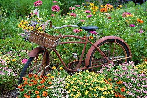FLW 01 DA0004 01 © Kimball Stock Old Bicycle With Flower Basket In Garden With Zinnias, Illinois