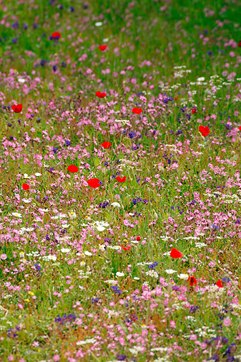 FLW 01 KH0003 01 © Kimball Stock Field Of Poppies And Chamomile On Island Of Skyros Greece