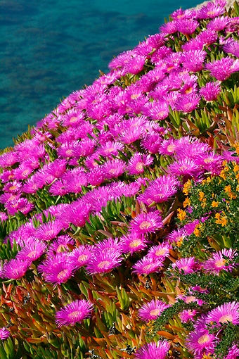 FLW 01 KH0004 01 © Kimball Stock Pink Iceplant Growing Along Water In Greece