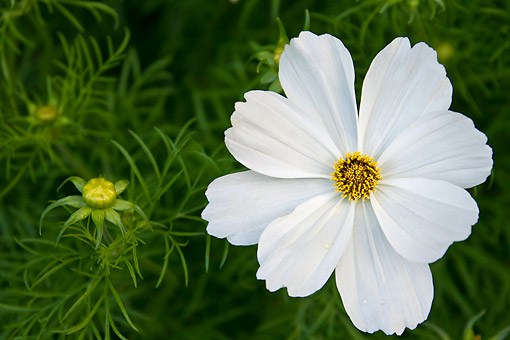 FLW 01 KH0008 01 © Kimball Stock Portrait Of White Garden Cosmo Normandy