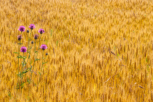 FLW 01 KH0036 01 © Kimball Stock Brown Knapweed In Wheat Field Provence, France