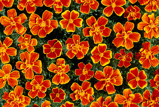 FLW 01 GR0006 01 © Kimball Stock Orange Flowers