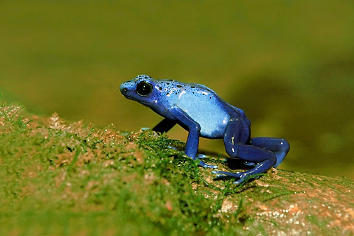 FRG 01 AC0019 01 © Kimball Stock Poison Dart Frog Standing On Shore, South America