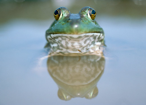 FRG 01 GR0004 01 © Kimball Stock Bullfrog Swimming Head On With Reflection In Water