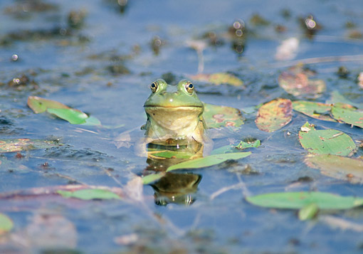 FRG 01 GR0006 01 © Kimball Stock Young American Bullfrog Sitting On Lilly Pad In Pond