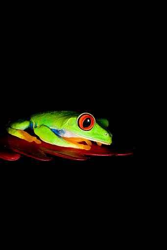 FRG 01 JZ0001 01 © Kimball Stock Red-Eyed Tree Frog Sitting On Red Leaf