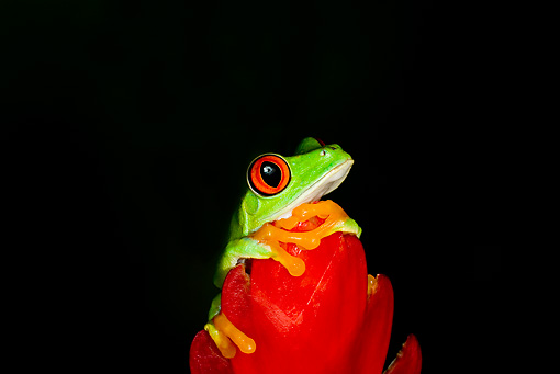 FRG 01 JZ0002 01 © Kimball Stock Red-Eyed Tree Frog Sitting On Red Flower