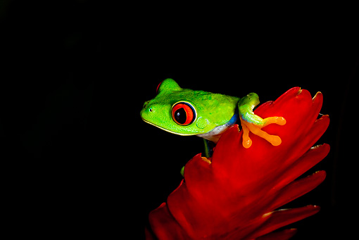 FRG 01 JZ0003 01 © Kimball Stock Red-Eyed Tree Frog Sitting On Red Flower