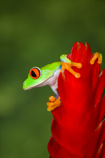 FRG 01 JZ0004 01 © Kimball Stock Red-Eyed Tree Frog Sitting On Red Flower