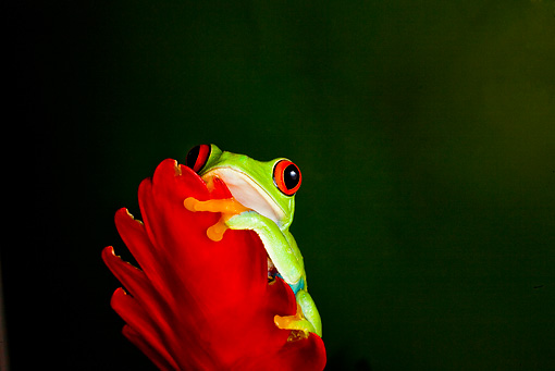 FRG 01 JZ0005 01 © Kimball Stock Red-Eyed Tree Frog Sitting On Red Flower