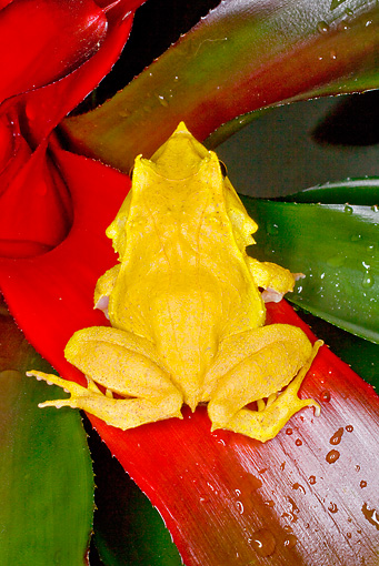 FRG 01 JZ0008 01 © Kimball Stock Solomon Island Leaf Frog Sitting On Red Leaf