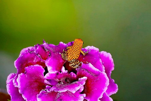 FRG 01 JZ0009 01 © Kimball Stock Strawberry Poison Dart Frog Sitting On Purple Flower