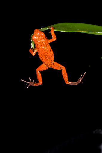 FRG 01 JZ0010 01 © Kimball Stock Strawberry Poison Dart Frog Hanging From Leaf