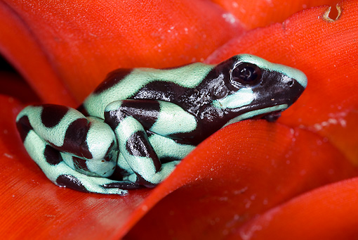 FRG 01 JZ0014 01 © Kimball Stock Green And Black Poison Dart (aka Poison Arrow) Frog Sitting On Red Leaf