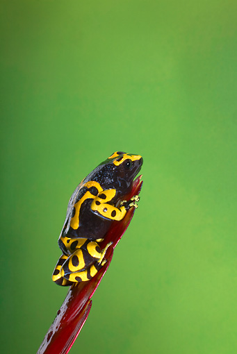FRG 01 JZ0015 01 © Kimball Stock Orange Banded Poison Dart Frog Sitting On Red Leaf Venezuela