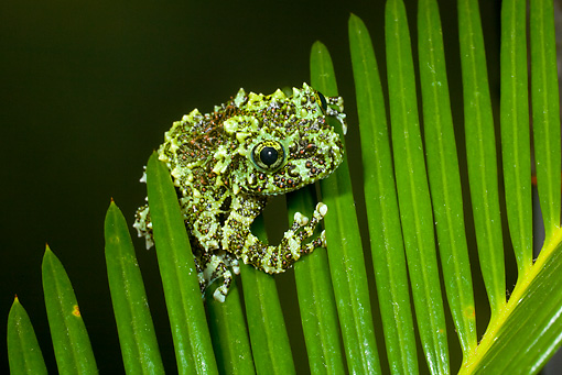 FRG 01 JZ0016 01 © Kimball Stock Mossy Frog Sitting On Fern Vietnam
