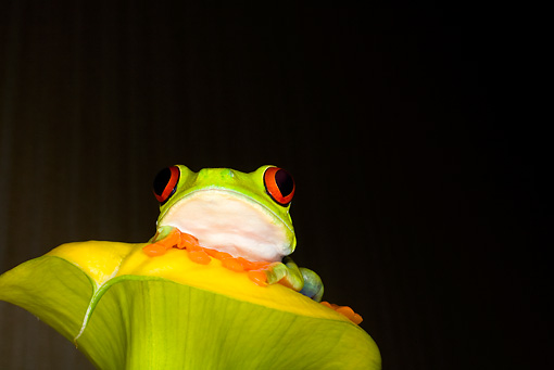 FRG 01 JZ0017 01 © Kimball Stock Red-Eyed Tree Frog Sitting On Leaf Costa Rica