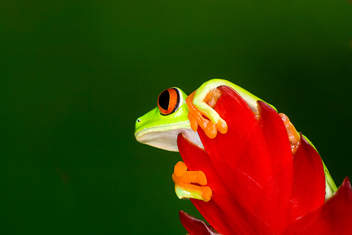 FRG 01 JZ0018 01 © Kimball Stock Red-Eyed Tree Frog Sitting On Red Leaf Costa Rica