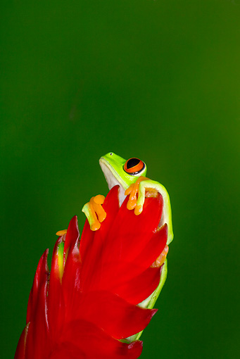 FRG 01 JZ0019 01 © Kimball Stock Red-Eyed Tree Frog Sitting On Red Leaf Costa Rica