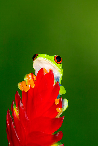 FRG 01 JZ0020 01 © Kimball Stock Red-Eyed Tree Frog Sitting On Red Leaf Costa Rica