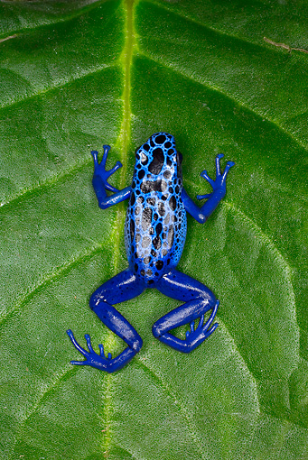 FRG 01 JZ0021 01 © Kimball Stock Poison Dart Frog Sitting On Leaf Surinam