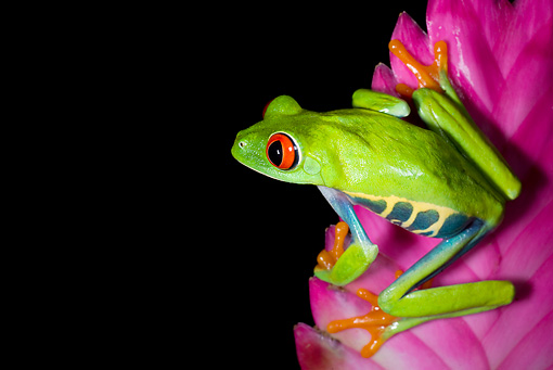 FRG 01 JZ0027 01 © Kimball Stock Red-Eyed Tree Frog Sitting On Pink Flower Costa Rica