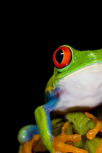 FRG 01 JZ0028 01 © Kimball Stock Close-Up Of Red-Eyed Tree Frog Sitting On Plant Costa Rica