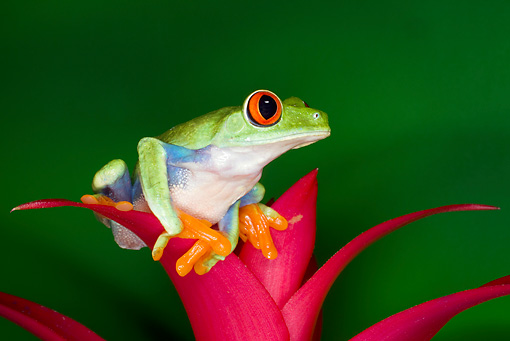 FRG 01 JZ0029 01 © Kimball Stock Red-Eyed Tree Frog Sitting On Pink Flower Costa Rica