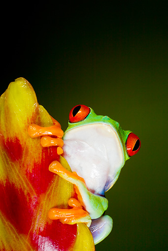 FRG 01 JZ0030 01 © Kimball Stock Close-Up Of Red-Eyed Tree Frog Sitting On Plant Costa Rica