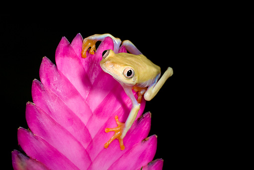 FRG 01 JZ0031 01 © Kimball Stock Albino Red-Eyed Tree Frog Sitting On Pink Flower Costa Rica