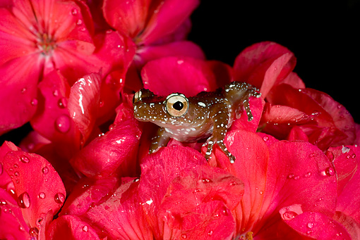FRG 01 JZ0035 01 © Kimball Stock Cinnamon Tree Frog Sitting On Red Flowers With Dew Indonesia