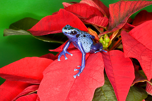 FRG 01 JZ0036 01 © Kimball Stock Blue Dart Frog Sitting On Red Leaves Surinam