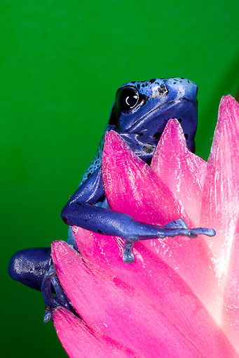 FRG 01 JZ0038 01 © Kimball Stock Close-Up Of Blue Dart Frog Sitting On Pink Flower Surinam