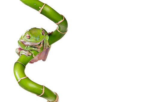 FRG 01 KH0016 01 © Kimball Stock Green Tree Frog Sitting On Lucky Bamboo On White Seamless