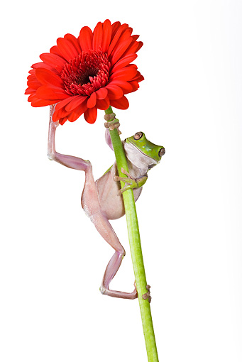 FRG 01 KH0017 01 © Kimball Stock Green Tree Frog Hanging On Flower Stem On White Seamless