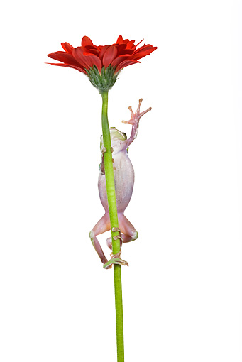 FRG 01 KH0018 01 © Kimball Stock Green Tree Frog Climbing On Flower Stem On White Seamless