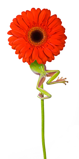 FRG 01 KH0019 01 © Kimball Stock Green Tree Frog Climbing On Flower Stem On White Seamless